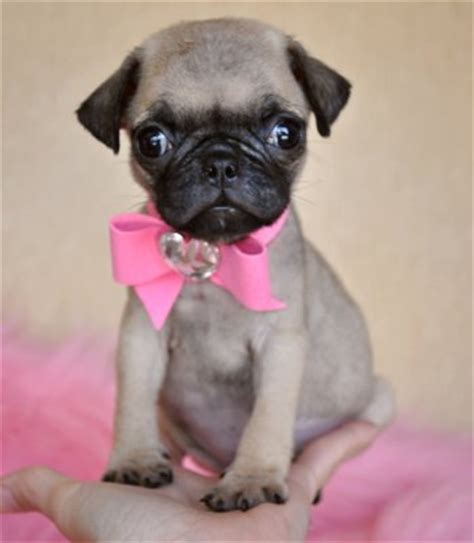 pug wow tiny pug puppy tiny tiny tiny wow you to see to believe 1 6 lb at