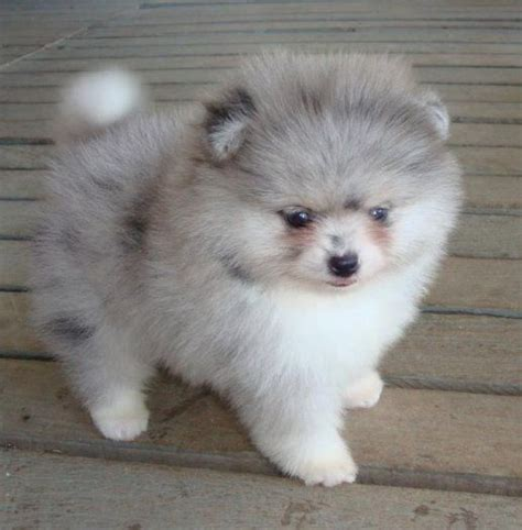 white pomeranian blue grey and white fluffy pomeranian puppy animals pomeranian puppy