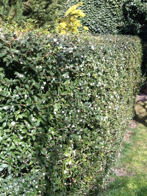 high c gardenias best 25 fresh flower delivery ideas on 25 best images about hedges on pinterest white flowers