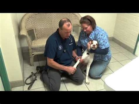 yorkie limping back leg limping leg sprain and treatment tips doovi