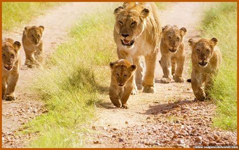 imagenes de leones reproduciendose imagenes de cachorros leones preciosos imagenes de leones