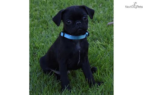 pug puppies for sale orange county kermit pug puppy for sale near orange county california ca9f3706 a401