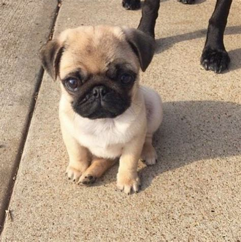 pug puppies near me buy puppies near me pets world