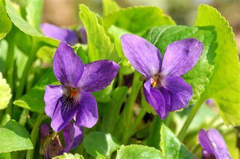 imagenes de rosas violetas flores violetas fotos e imagens