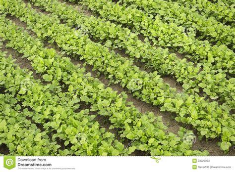 imagenes abonos verdes mostaza como abono verde en verano imagenes de archivo