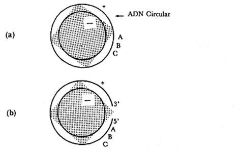 cadena de adn positiva y negativa iii el proceso de infecci 211 n viral