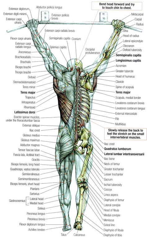diagram of back muscles back muscles anatomy physiology