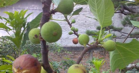 Bibit Tin Lsu Gold bibit tanaman buah unggul tamora unggul nursery bibit