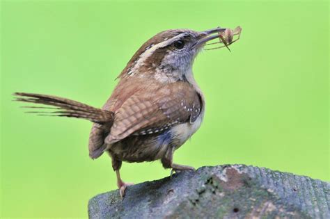 carolina wren my yard birds pinterest
