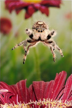 Jumping Animal By Acc 9 best jumping spiders images on jumping