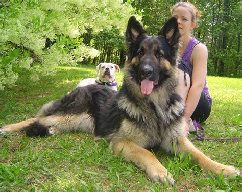Do German Shepherds Shed by German Shepherd Shedding Grooming And 3 Usefil Tips