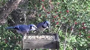 blue jays on bird feeder youtube