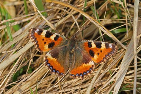 220 Berwinternder Schmetterling In Der Wohnung