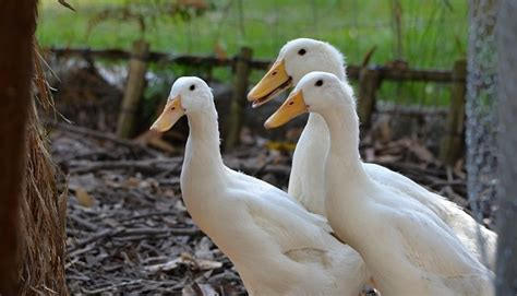 Keeping Backyard Ducks by 6 Recommendations For Keeping Ducks In The Backyard