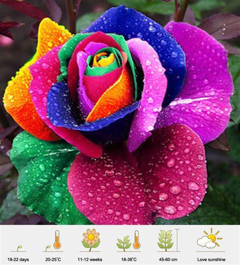 Bibit Bunga Rainbow jual benih bibit bunga mawar pelangi rainbow
