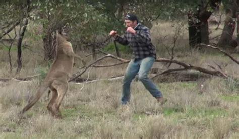 punches kangaroo to save australian hits kangaroo to save outdoorhub