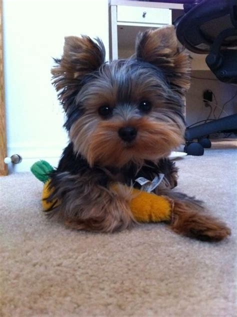 different hair cuts for toy yorkies best 25 yorkie haircuts ideas on pinterest yorkie cuts