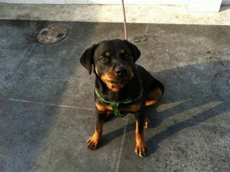 rottweiler 6 months rottweiler 6 months and a half contact 03219430955 03009430955 any contact