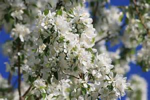 tree with white flowers white blossoms on crabapple tree picture free photograph photos domain