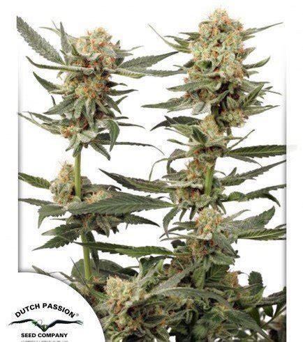 banche semi cannabis ortega indica zativo