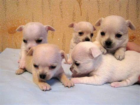 cani taglia media appartamento cani da appartamento taglia media pelo corto idee di