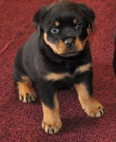 emotional support for sale emotional support puppies for sale breeds picture