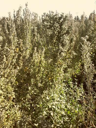 kinoa quinoa yetitiricilii bizimbahce net kinoa quinoa page 5 agaclar net