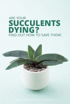 how to save a dying plant tips for planting succulents in containers planting
