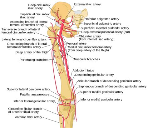 diagram of femoral artery femoral artery