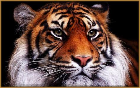 imagenes asombrosas para pantalla ver fotos de tigres para fondo de pantalla archivos