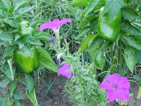 pest for vegetable garden using plants for pest in vegetable gardens