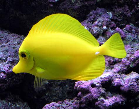 fayl yellow tang arp jpg vikipediya