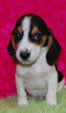 miniature beagle puppies for sale 1000 images about mini beagle puppy for sale on mini beagle beagle