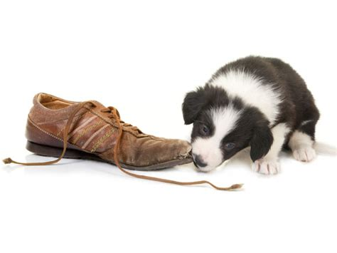 how to help a teething puppy new puppy tips 5 ways to help with puppy teething petmd
