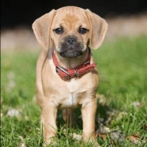 pugs and beagles puggle pictures and photos pug beagle mix pictures puggle pics 1 breeds picture