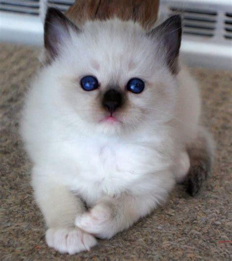 ragdoll cat breed top ten most loving cat breeds kittens wallpapers