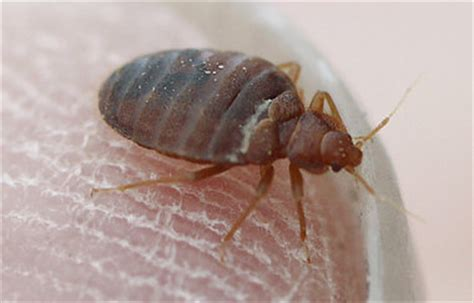 bed bugs arizona bed bugs in arizona scourge to landlords bane to tenants mycleaningproducts com