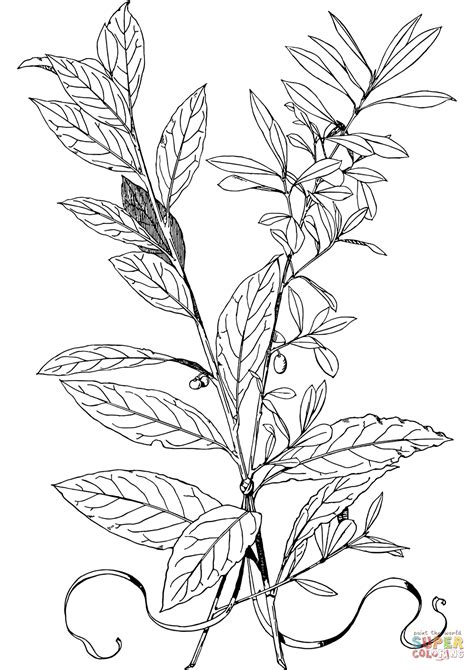 olive leaf coloring page olive branch coloring page free printable coloring pages