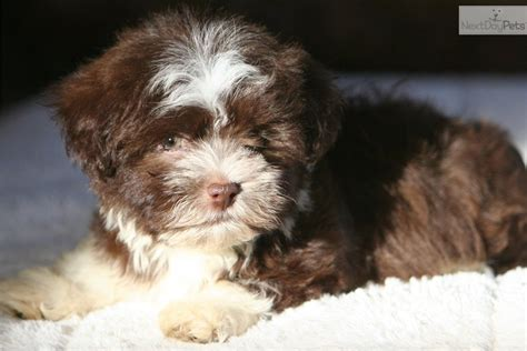 havanese puppies for sale preloved havanese puppy for sale near brainerd minnesota 9dcc564e 97e1
