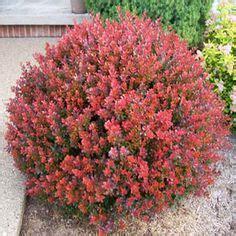 sun evergreen flowering shrub pics for gt flowering evergreen shrubs sun