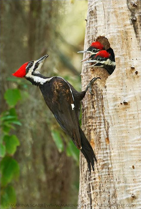 pileated woodpecker family east coast confidential