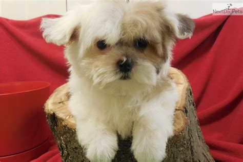 illinois havanese breeders havanese puppies illinois havanese puppies illinois shelby havanese puppy for sale