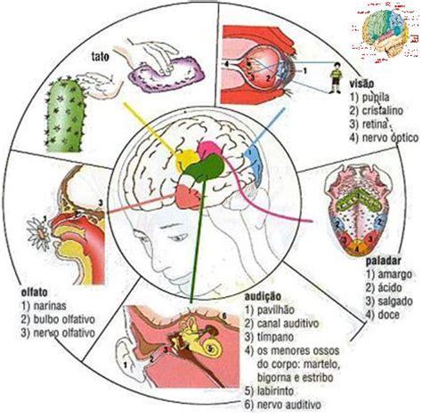 imagenes de organos sensoriales cuerpo humano organos sensoriales imagenes dibujos