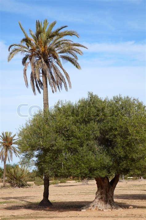 olive u palm gardens date palm and olive tree in one garden stock photo colourbox