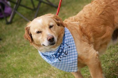 staffy cross golden retriever goldie 7 year golden retriever cross for adoption