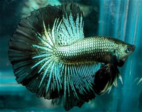 Cara Ternak Kutu Air Untuk Pakan Ikan Cupang cara budidaya hewan atau ikan ternak dengan baik