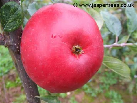 fruit trees for sale kent jaspertrees fruit trees and apple trees for sale the
