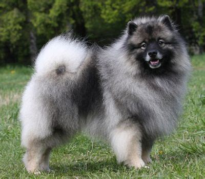 keeshond pomeranian keeshond distinctive markings called spectacles set apart this breed of