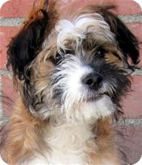 wheaten terrier shih tzu mix mix breeds on wheaten terrier smiling