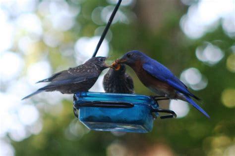 lake life bluebird babies mealworms